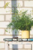 Bunch of dill in old yellow cup on vintage wooden table - 231879980