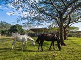 fazenda cavalos comendo - 231882936