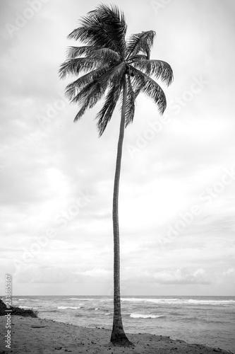 coqueiro em preto e branco - 231885367