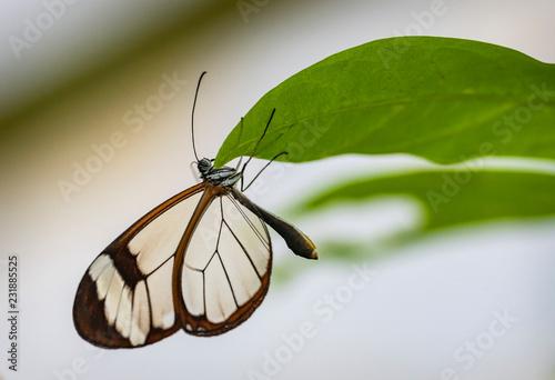Glasswing Butterfly - 231885525