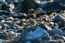 "Постер, картина, фотообои ""Rock Pipit in the early morning on a stony beach"""