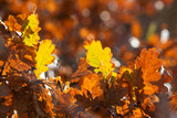 Autumn oak leaves - closeup photography with blured background
