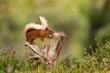 Red Squirrel climbing - 231894317
