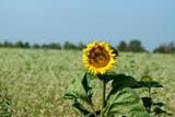sunflower on the clover field