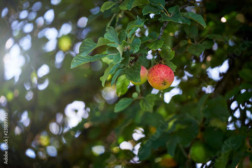 Foto Murales Apple tree with many fruits in summer. The sun is shining.