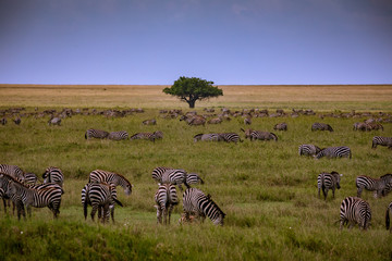 herd of zebras in africa © Stephan