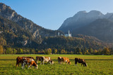 Serene rural landscape with cows grazing in the meadow with the view to Neuschwanstein castle, Bavaria, Germany - 231907753