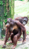 A common chimpanzee Pan troglodytes while walking and eating fruits in a zoo - 231909952