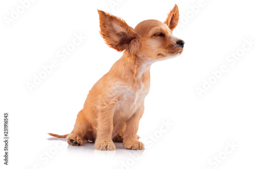 Leinwandbild Motiv Funny dog. Cocker Spaniel Puppy, isolated on white