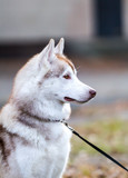 Dog. Portrait on the lawn in the urban environment. Siberian Husky with yellow eyes in the woods on a background autumn fallen leaves. Alaskan Malamute. Siberian husky dog outdoors.