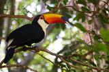 Toco toucan - 231921913