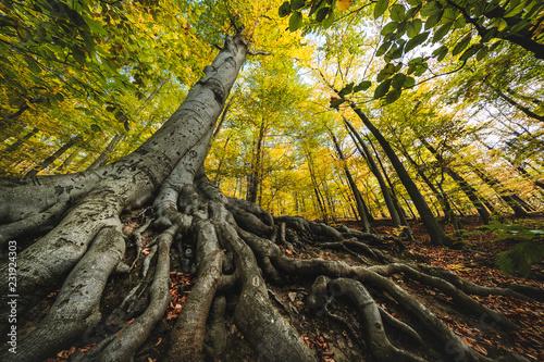 Buche im Wald - 231924303