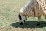 Sheep graze eating grass ,sheep on green field - 231925592