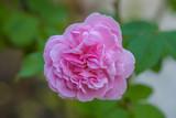 Beautiful pink rose - 231931161