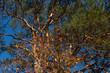 Leinwanddruck Bild - Weinvisionen, Blick in die Baumkrone eines alten Föhrenbaumes im Weingarten Loiben