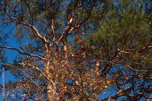 Leinwanddruck Bild Weinvisionen, Blick in die Baumkrone eines alten Föhrenbaumes im Weingarten Loiben