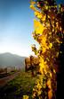 Leinwanddruck Bild - Weinvisionen, goldene Weinreben im Licht der herbstlichen Sonne