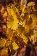 Leinwanddruck Bild - Weinvisionen, goldener Herbst in der Wachau
