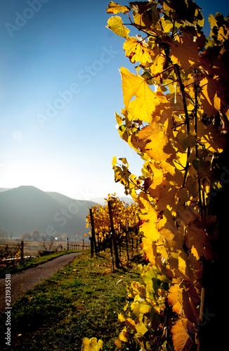 Leinwanddruck Bild Weinvisionen, goldene Weinreben im Licht der herbstlichen Sonne