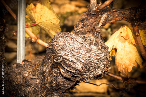 Leinwanddruck Bild Weinvisionen, ein alter Weinstock im herbstlichen Sonnenlicht