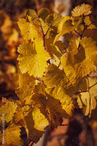 Leinwanddruck Bild Weinvisionen, goldener Herbst in der Wachau