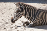 Zebra in Budapest Zoo © Viacheslav Vorobyev