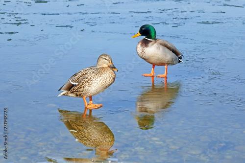 Leinwandbild Motiv Entenpaar auf Eis