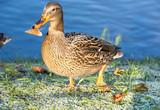 View of mallard duck - 231952798