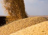 Pouring soy bean grain - 231961396