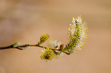 Blooming willow branch in springtime, seasonal sunny easter background