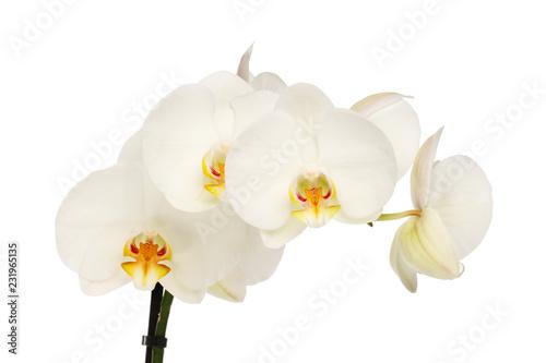 Białe kwiaty orchidei