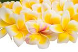 frangipani flowers isolated
