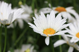 Beautiful daisy flower with drops after rain close-up