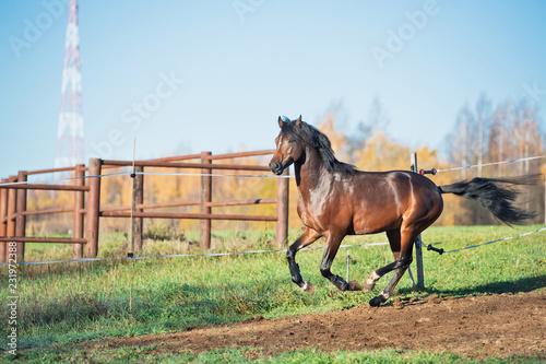 running dark bay sportive welsh pony stallion in paddock