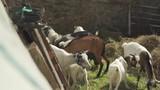 Observing Goat Herd Eating in Pen - 231987552