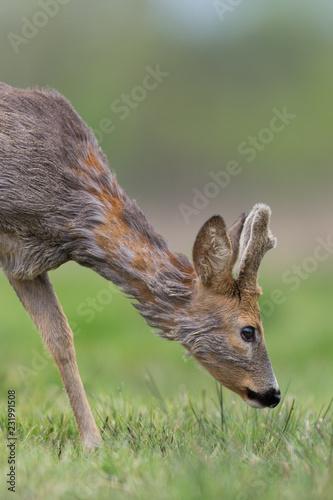 Roebuck - buck (Capreolus capreolus) Roe deer - goat - 231991508