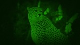 Nightvision Cheetah Looking Around - 231995301