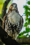 Red-tail hawk - 232002584