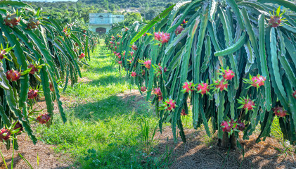 Dragon fruit tree with ripe red fruit on the tree for harvest. This is a cool fruit with many minerals that are beneficial for human health