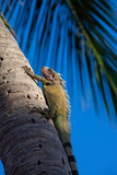 Iguana climbing a palm tree - 232021529
