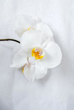 The branch of White orchids on white fabric background - 232035323