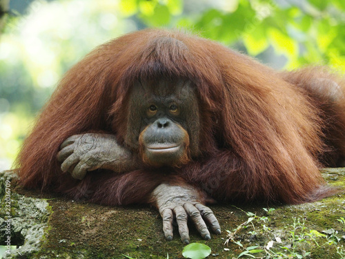 Wall mural Borneo Orang Utan is taking a rest at the playground