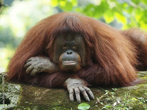 Fridge magnet Borneo Orang Utan is taking a rest at the playground