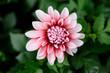 ピンクの花 ダリヤ