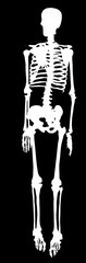 white silhouette of single human skeleton © Alexander Potapov