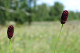 Cherry burnet flower head on the summer field background.