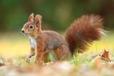 Red Squirrel - Sciurus vulgaris - 232046500