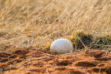 Ostrich egg in the nest - 232046750