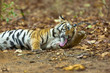 Tiger Licking his paw