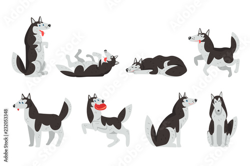Siberian husky character sett, dog in different actions vector Illustrations on a white background - 232053348